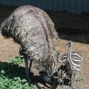 emu & chick