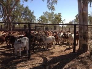 Cattleyard 2