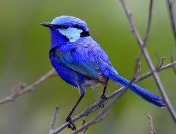blue wren breeding