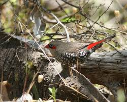 red eared firetail3