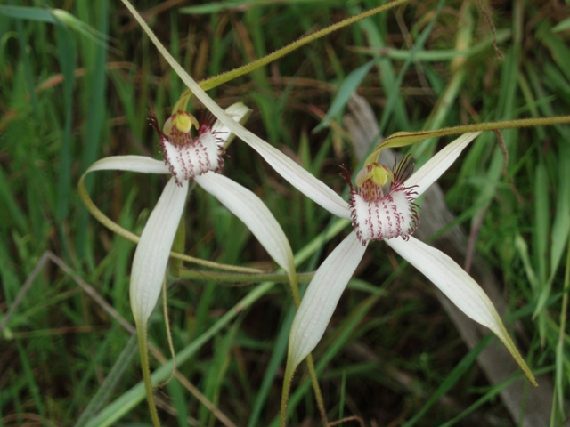 Spider Orchids Lake Indoon