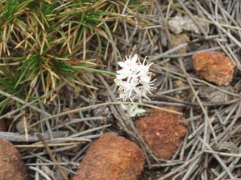 Borya flower