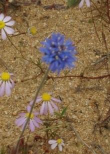 Australian Cornflower