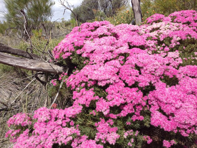 Kalbarri flora