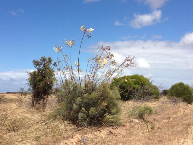 Smelly Flower Kalbarri