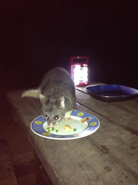 Possum at Chapman Pool