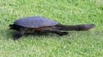 Long necked tortoise