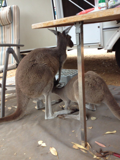 Kangaroos at Lucky Bay Western Australia