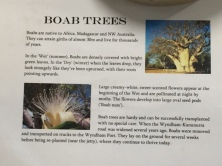 Boab Trees, Wyndham