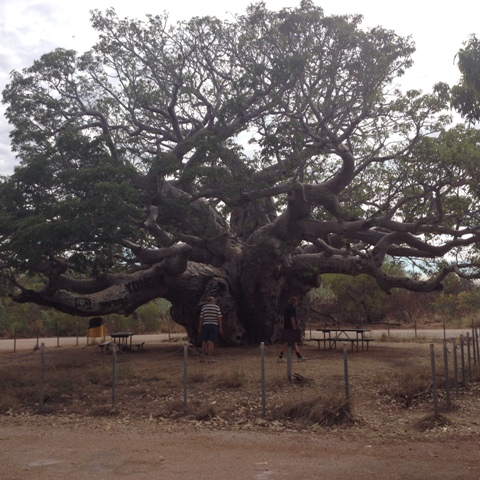 Boab Tree near Derby, WA