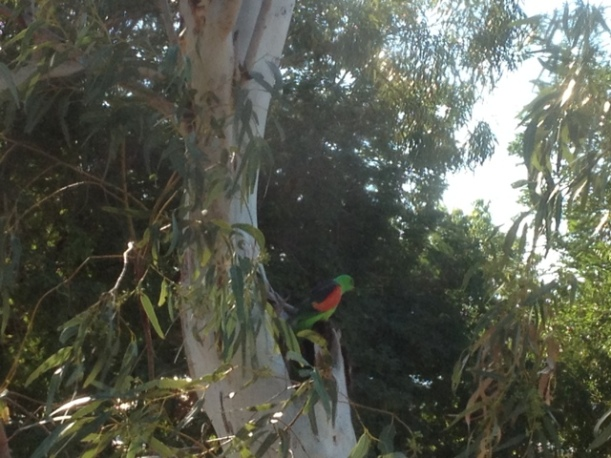 Red- Winged Parrot