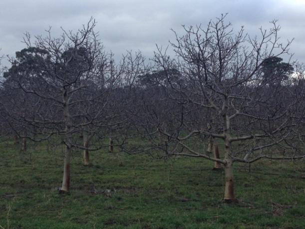 Walnut Trees