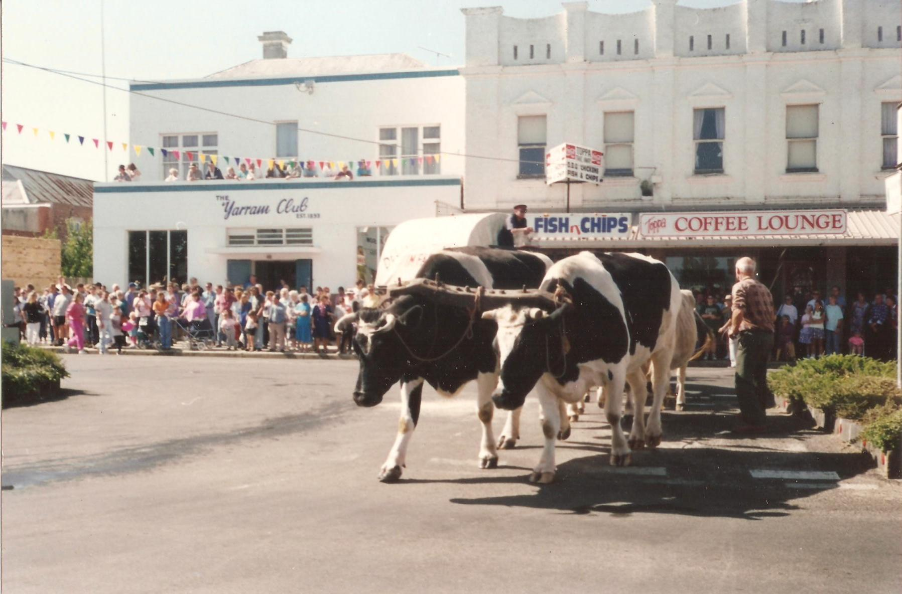 Bullock team at Yarram, Victoria