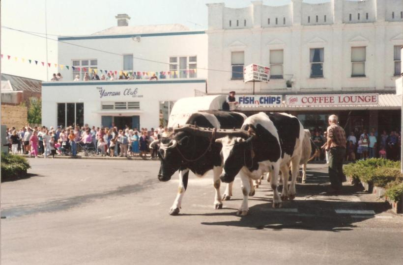 Bullock team at Yarram, Victoria