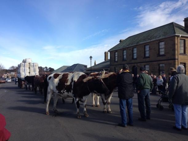 Bullock Team, Oatlands, Tasmania