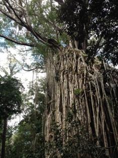 Curtain Fig Tree, Yungaburra