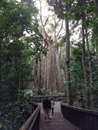 Curtain Fig Tree, Yungaburra, Queensland