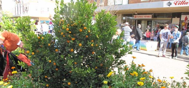 Bingara Oranges