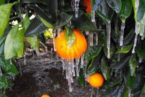 Bingara Orange Trees