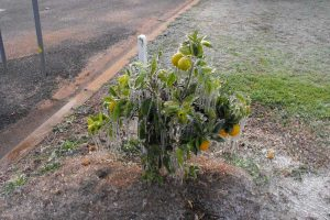 frozen_orange_tree2-e1460626670532-300x200