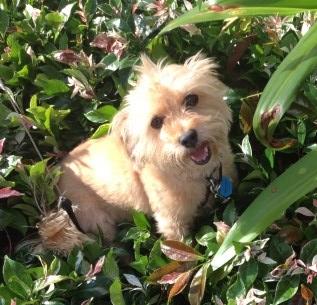 Dog-sitting Chai