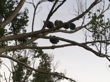 Guinea Fowl roosting