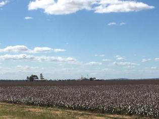 Cotton fields at Jimbour, Queensland
